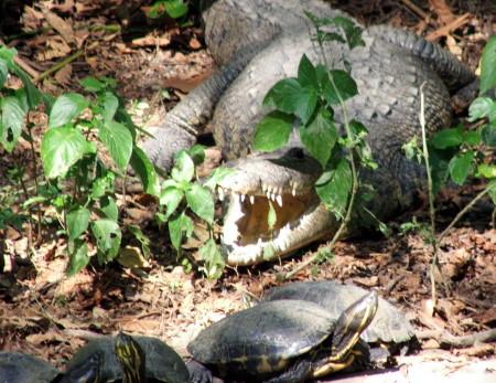 Lagartos y tortugas son depredados por igual.