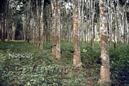 Sembrarán 10 mil has de hule por año en Chiapas.