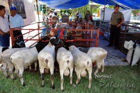 Los ovinocultores exhiben sus ejemplares en la expo ganadera de Palenque
