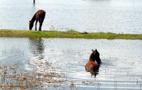 El ganado también padece los estragos de la inundación.