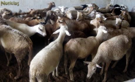 La ovinicultura tiene demanda pero requiere mayor producción.