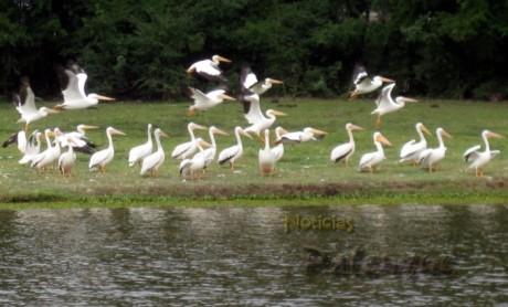 Tuvieron que intervenir las autoridades para proteger a esta especie migratoria.